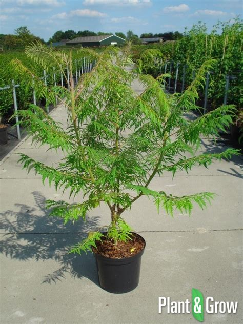 rhus typhina dissecta fluweelboom kopen plant grow