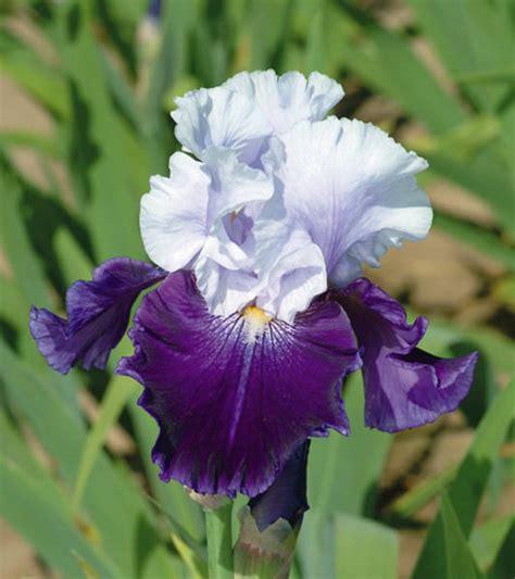 bearded irises iris royal storm bearded iris