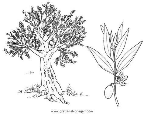 olivenbaum  gratis malvorlage  baeume natur ausmalen