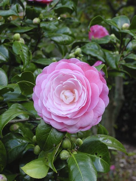 camellia plant pictures camellia planting and care how to care for a camellia plant