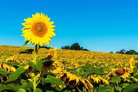 Sunflower Wallpaper For Iphone