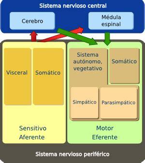organos animales sistema nervioso periferico atlas de histologia vegetal  animal