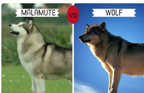 wolf  husky size