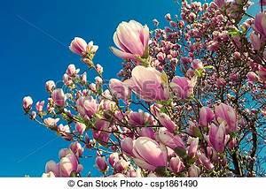 Aktuelle Blumen Im April : stock fotografie von april magnolie baum bl hen bl hen magnolie baum in csp1861490 ~ Markanthonyermac.com Haus und Dekorationen