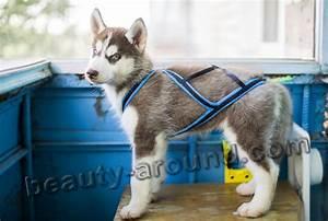 sled dog puppy harness - Dogs Breed Sierramichelsslettvet