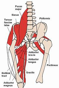Adductor Muscles Of The Hip