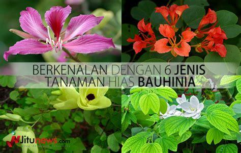 berkenalan dengan 6 jenis tanaman hias bauhinia jitunews