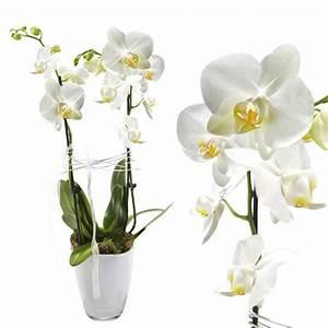 Zimmerpflanze Weiße Blüten : orchidee wei zimmerpflanze zimmerpflanzen topfpflanzen blumen online bestellen bundesweit ~ Markanthonyermac.com Haus und Dekorationen