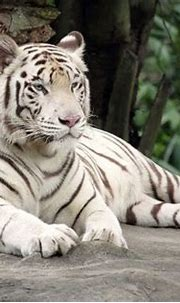 What Are Some Interesting Facts About White Tigers? - Joy ...