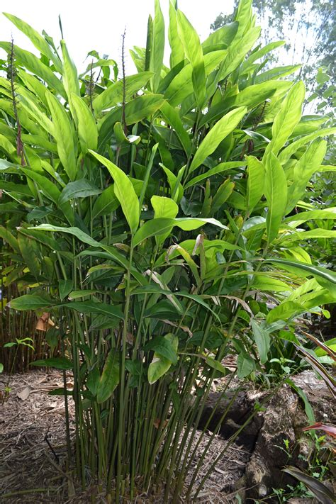 Lush Foliage Plants For Backdrops  Galangal Ginger