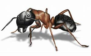 Prevent  U0026 Control Ants In Your Mn Home