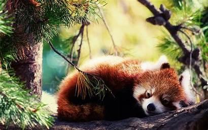 Panda Wallpapers Cool