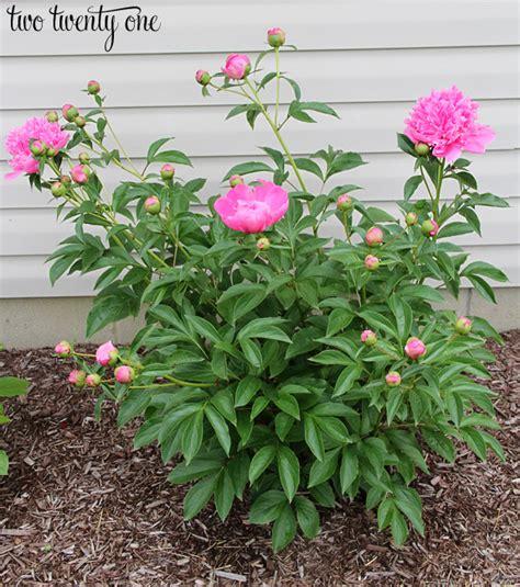 growing peony flowers growing peonies