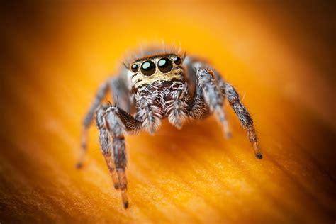 wallpaper jumping spider macro black eyes yellow