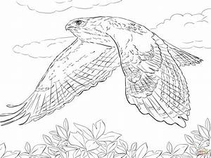 Red Tailed Hawk In Flight Coloring Page Free Printable