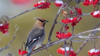 Waxwing Bohemian Standing Around Birds Trees Flowers