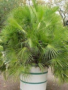 Phoenix Canariensis Entretien : un palmier sur un balcon 1 forum cheval ~ Melissatoandfro.com Idées de Décoration