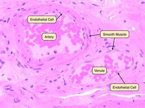 This is an online quiz called blood vessel labeling. Artery Microscope Slide Labeled - Micropedia