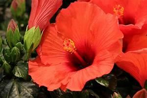 Wann Dürfen Hecken Geschnitten Werden : hibiskus schneiden 7 1 schnitte f r eine gro e bl tenpracht ~ Frokenaadalensverden.com Haus und Dekorationen