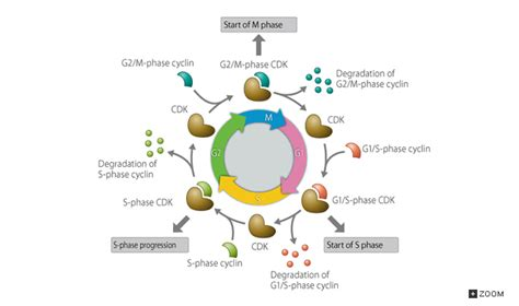 132 Cell Cycle Regulation Factors Cyclincdk Complex