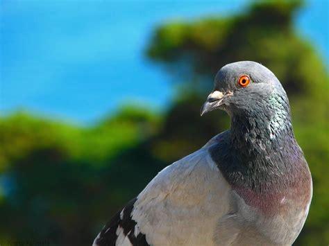 pigeon wallpapers hd