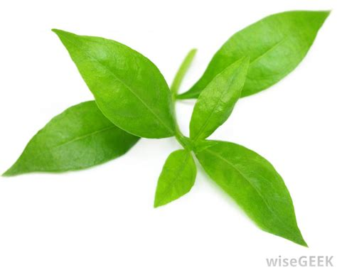 leaf plants pictures what is a plant cuticle with picture