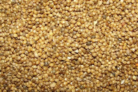 millet bird seed
