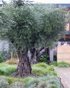 Planter Un Olivier En Pot : planter un olivier en pleine terre id es d coration ~ Dode.kayakingforconservation.com Idées de Décoration