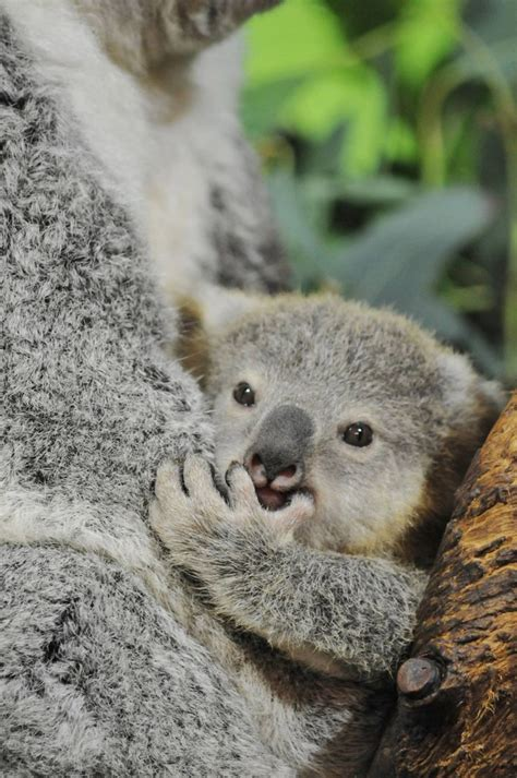 Riverbanks Zoo And Garden, In South Carolina, Was Recently Greeted By A New Koala Joey The Male