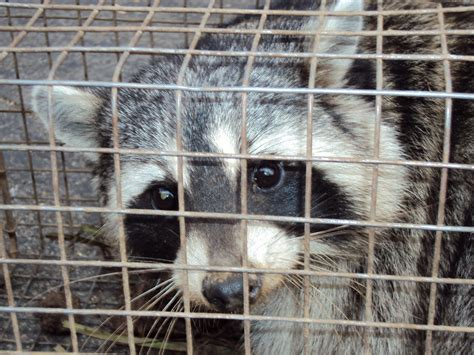 snake trapping,pigeon trapping,raccoon removal los angeles
