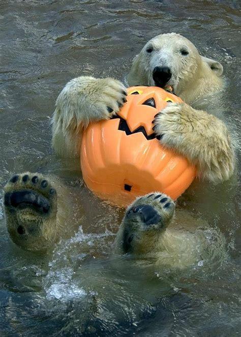 polar bear loves  pumpkin pictures   images