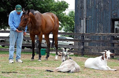 friends goat companions racehorse thoroughbred horses horse retired goats companion dollar retires race retirement yahoo google along earner million habibti
