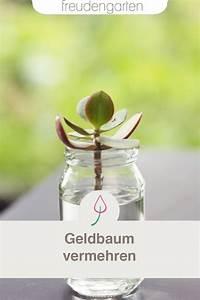 Geranien Vermehren In Wasser : geldbaum vermehren geldbaum pflanzen und einheimische ~ Watch28wear.com Haus und Dekorationen