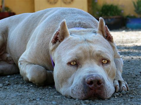 pits pictures pit bull history personality appearance health and pictures