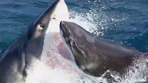 When Great White Sharks Attack   Each Other