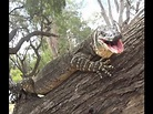 Very Large Goanna, Lace Monitor Lizard in tree, right next ...
