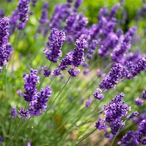 Que Faire Avec Des Fleurs De Lavande : lavande officinale plantes et jardins ~ Dallasstarsshop.com Idées de Décoration