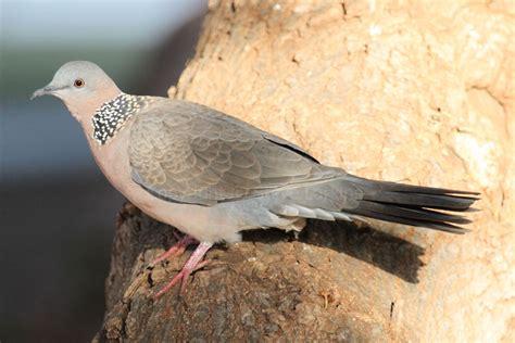 urban birds  maui species  birds