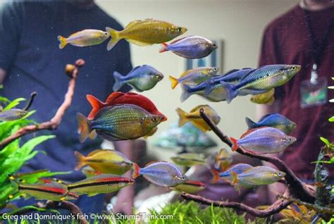 rainbowfish tank rainbow fish tropical fish aquarium