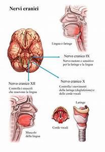 Nervo Vago  Accessorio E Ipoglosso