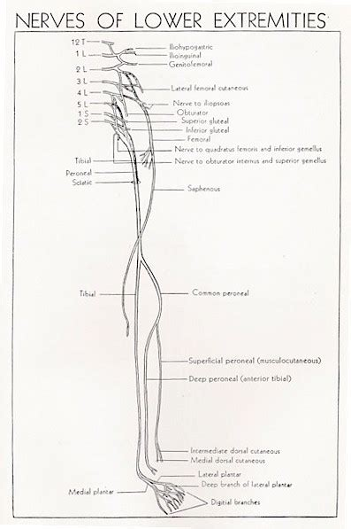 sciatic nerve root anatomy image collections cv