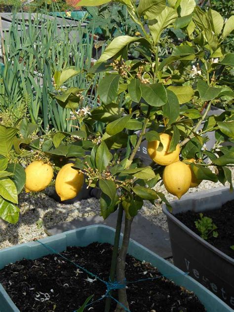 lemon trees in pots handy tips for growing lemons growgoodnz