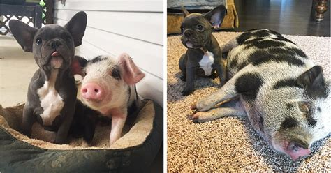 rescue piglet   friends   french bulldog