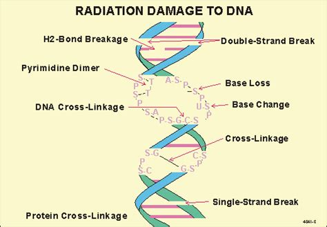 Bbq4a-what Effect Does Radiation Have On Cells And What Is