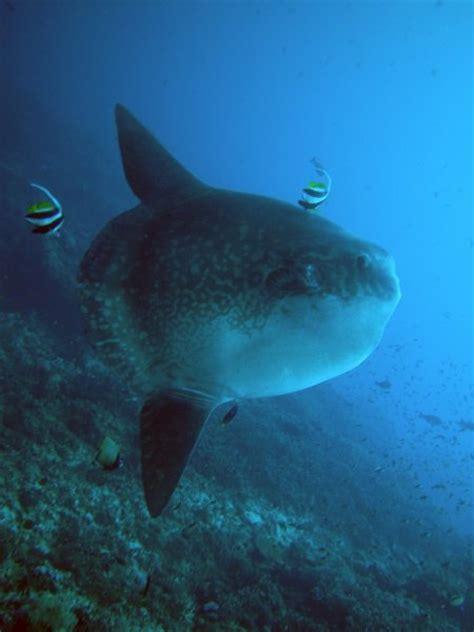 fish sunfish mola mola masturus lanceolatus ranzania