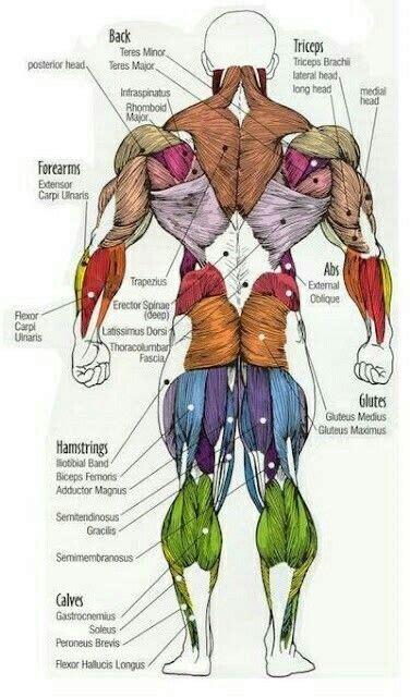 Shoulder flexion is movement of the shoulder in a forward motion. Пин от пользователя Andy на доске Fitnote | Мышечная система, Анатомия человека, Анатомия