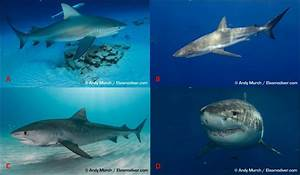10 Main Predators Of Bottlenose Dolphins  A  Bull Shark
