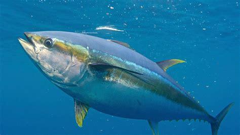 tuna fish the gallery for gt yellowfin tuna fishing
