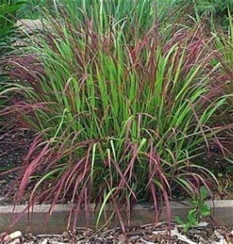 hardy grasses for the garden 17 best images about grasses on pinterest fireworks feathers and ornamental grasses