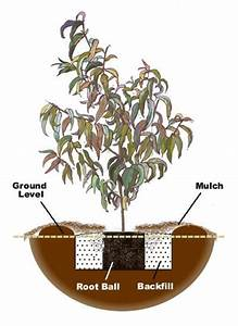 How To Plant A Plum Tree